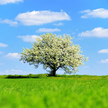 Photo for Single blossoming tree in spring on rural meadow - Royalty Free Image