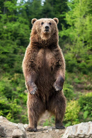 Foto de Brown bear (Ursus arctos) standing on his hind legs in the spring forest - Imagen libre de derechos