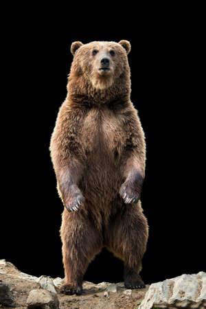 Photo pour Brown bear (Ursus arctos) standing on his hind legs on the black background - image libre de droit