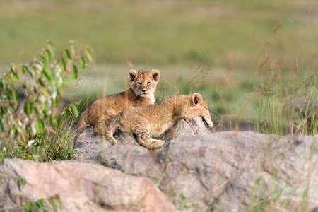 Photo pour African Lion cub, (Panthera leo), National park of Kenya, Africa - image libre de droit