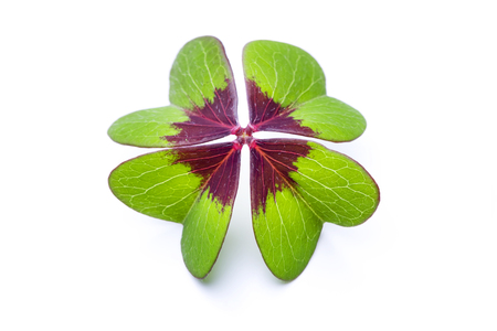 Photo for four-leaved clover - Royalty Free Image