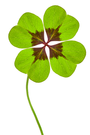 Photo for four leaves cloverleaf - Royalty Free Image