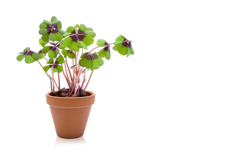 Photo for Clover in flowerpot - Royalty Free Image