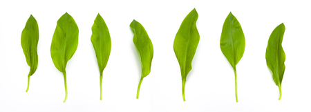 Photo for wild Garlic Leaves isolated - Royalty Free Image