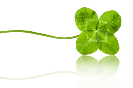 Photo for Four-leaved Gloverlef isolated on white background - Royalty Free Image