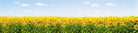 Photo pour sunflower field with blue sky panorama - image libre de droit