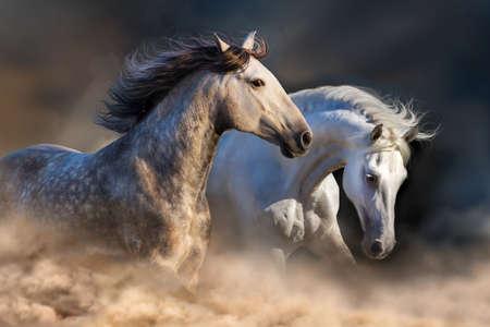 Photo pour Couple of horse run in dust at sunset light - image libre de droit