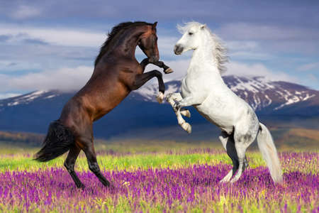 Photo pour Two horse rearing up against mountain view in flower field - image libre de droit