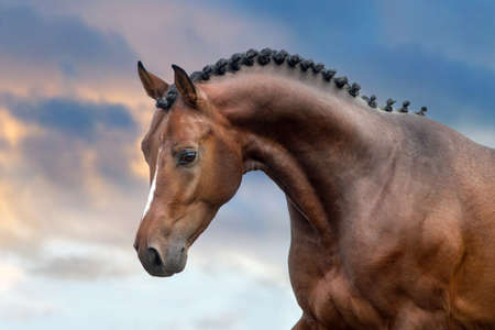 Photo for Bay stallion portrait against sunset sky - Royalty Free Image