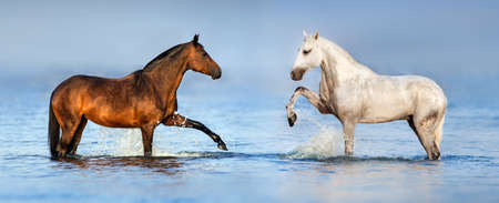Photo pour Two beautiful horses standing in blue water. Panorama for website - image libre de droit