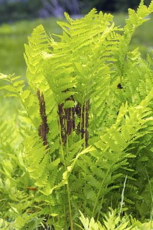 Photo pour Interrupted fern, Osmunda claytoniana, in a meadow - image libre de droit