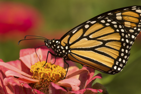 Photo for Adult monarch butterfly, Danaus plexippus, order Lepidoptera, with its wings folded on a pink Dahlia flower in East Windsor, Connecticut. - Royalty Free Image