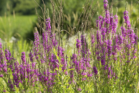 Photo pour Purple loosetrife, Lythrum salicaria, a non-native species considered invasive, blooming at the Donnelly Preserve in South Windsor, Connecticut. - image libre de droit