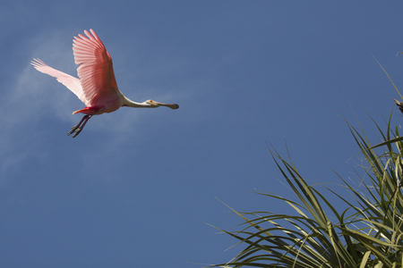Foto de Roseate spoonbill, Platalea ajaja, soaring with wings outstretched above tropical foliage of a swamp in St. Augustine, Florida. - Imagen libre de derechos