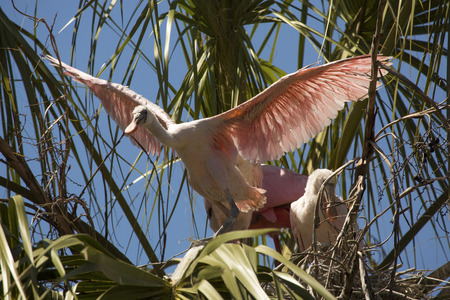 Foto de Juvenile roseate spoonbill, Platalea ajaja, standing while stretching its wings out at a palm tree nest in St. Augustine, Florida. - Imagen libre de derechos