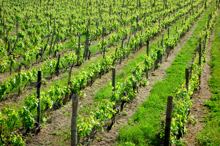 Photo for vineyard rows - Royalty Free Image