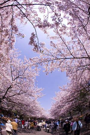 Flower viewing of Ueno-koen Park in Tokyo