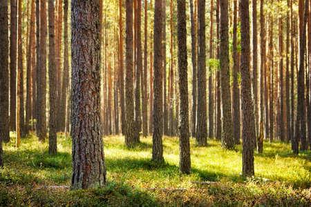 Photo pour Pine forest - image libre de droit