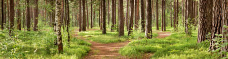 Foto de pine forest panorama in summer. Pathway in the park - Imagen libre de derechos