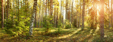 Foto per Coniferous forest with morning sun shining - Immagine Royalty Free