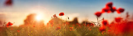 Photo pour Beautiful poppy flowers on the field - image libre de droit