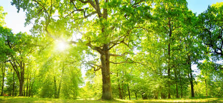 Foto per old oak tree foliage in morning light with sunlight - Immagine Royalty Free