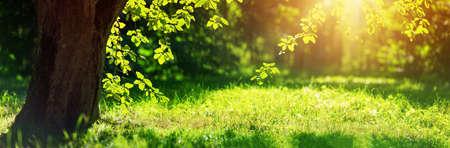 Foto per Tree foliage in morning light - Immagine Royalty Free