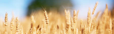 Foto de wheat field background - Imagen libre de derechos
