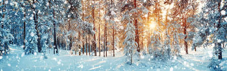 Photo for Pine trees covered with snow - Royalty Free Image