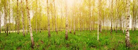 Foto de birch tree forest in morning - Imagen libre de derechos