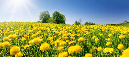 Photo for Field with dandelions and blue sky - Royalty Free Image