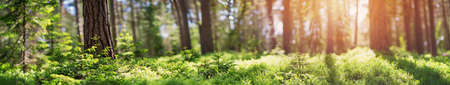 Photo for pine and fir forest panorama - Royalty Free Image