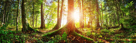 Photo for Fir tree woods in early morning with beautiful sunlight - Royalty Free Image