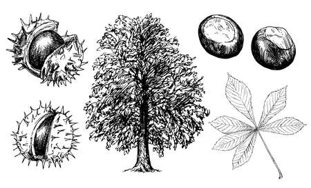 Illustration for Horse Chestnut or Conker Tree. - Royalty Free Image