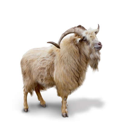 Photo for Wild mountain goat Isolated on the white background - Royalty Free Image