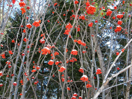 Photo for There are service tree and snowcovered red berries - Royalty Free Image