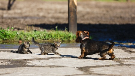 Photo pour Confrontation of a kitten and a dog in the countryside - image libre de droit