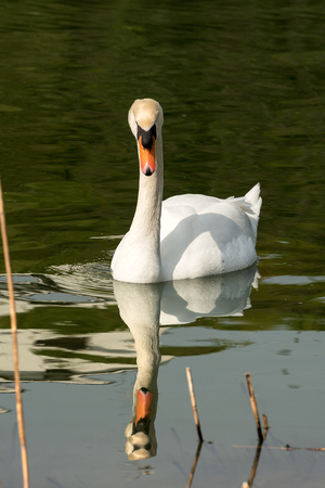 Photo for White mute swan (Cygnus olor) in the water among reeds - Royalty Free Image