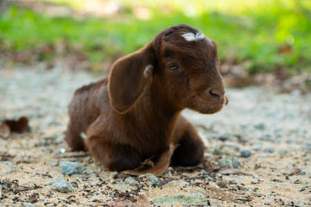 Photo pour Baby Goat / Kid happy and relaxed on the ground in Natai, Phang Nga, Thailand, Asia - image libre de droit