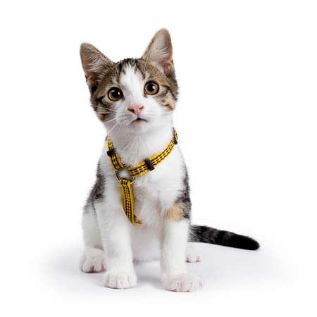Photo pour European shorthair kitten / cat sitting on white background wearing yellow harness - image libre de droit