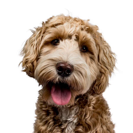Foto de Head shot of golden Labradoodle with open mouth, looking straight at camera isolated on white background - Imagen libre de derechos