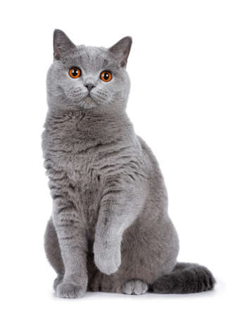 Foto de Sweet young adult solid blue British Shorthair cat sitting down front view, looking at camera with orange eyes and one paw lifted, isolated on white background - Imagen libre de derechos