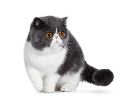 Photo pour Blue with white young Exotic Shorthair cat, standing / walking facing front. Looking to the side with amazing round orange eyes. Isolated on white background. One paw in air. - image libre de droit