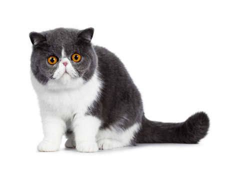 Photo for Cute blue with white young Exotic Shorthair cat, sitting side ways. Looking curious straight into a lens with amazing round orange eyes. Isolated on white background. Tail behind body. - Royalty Free Image