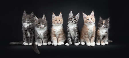 Foto de Row of six multicolored Maine Coon cat kitten sitting in perfect line. All looking at the camera. Isolated on black background. - Imagen libre de derechos