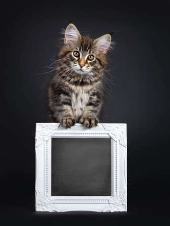 Cute classic black tabby Maine Coon cat kitten, standing on hind paws behind blackboard in white frame. Looking straight at lens with brown eyes. Isolated on black background. Front paws on frame.