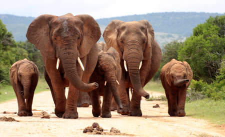 Foto de A herd of elephant walk towards the camera and smell in this great low angle image  - Imagen libre de derechos