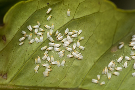 Foto de White fly infestation on the underside of a citrus leaf - Imagen libre de derechos
