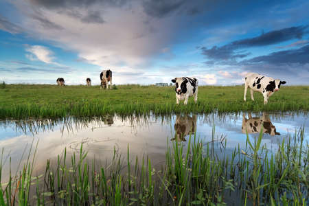 Photo pour cows on pasture by river over sunset sky - image libre de droit