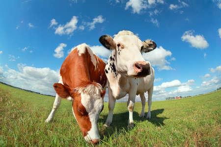 Foto de cows on pasture over blue sky close up - Imagen libre de derechos